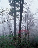 Trees In Fog,Mt  Seoraksan National Park,Gangwon,Korea