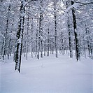 Forest In Winter,Daegwallyeong,Gangwon,Korea