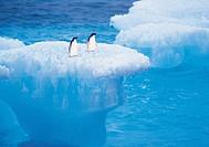Penguins,Greenland