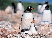 Gentoo Penguins,The Antarctic