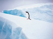 Gentoo Penguin,The Antarctic