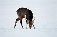 Deer,Hokkaido,Japan