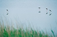 Black-Winged Stilts,Korea