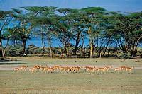 Impalas,Kenya