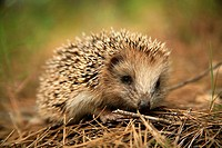 Hedgehog (Erinaceus europaeus), La Dehesa. Spain.