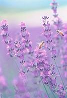 Purple Flower Lavender honeybee Farm Tomita Nakafurano Hokkaido Japan