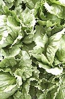 Close-up of fresh lettuce