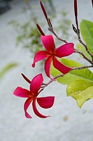 Tropical Flower on Islands, Maldives