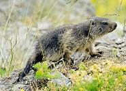 Alpine Marmot (Marmota marmota), young