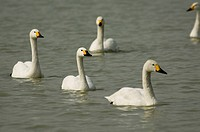 Swans swimming in water