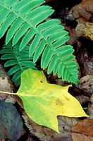 Tulip poplar (Liriodendron tulipifera) leaf with Christmas fern (Polystichum acrostichoides), Devil´s Den Preserve, Connecticut, USA.