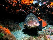 Dusky Grouper (Epinephelus marginatus). Columbretes Islands, Mediterranean Sea