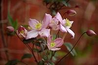 Anemone clematis flowers Clematis montana var. rubens.