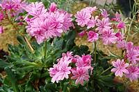 Lewisia flowers Lewisia ´Ashwood Carousel Hybrid´.