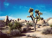 Joshua tree in desert with boulders in USA
