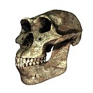 Australopithecus afarensis skull, computer artwork. Compared to the modern human skull the skull of A. afarensis had a more prominent brow ridge, a br...