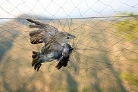 Bird trapping for biological research. Ash_ breasted sierra_finch Phrygilus plebejus caught in a mist net. Mist nets are used by ornithologists as a m...