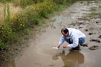 Tadpole collection. Herpetologist collecting tadpoles of the endangered Andean marsupial tree frog Gastrotheca riobambae for a captive breeding progra...