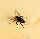 House fly  Musca domestica  on cheese.