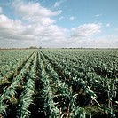 View of Fenland leek crop in winter. Cambridgeshire, England.