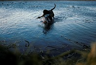 A Black Labrador Retriever brings in a downed Mallard drake. Sacramento, California.