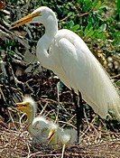 Great Egret Casmerodius albus adult with young sheltering from the sun and panting to cool down, Florida. This is a threatened species. The adult is s...