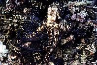 Reef Octopus Octopus cyanea. Bohol Island. Philippines.