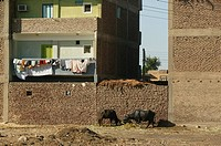 Oxen in front of houses of the West Bank countryside