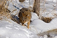 Coyote Canis latrans stalking something in the snow, Minnesota.