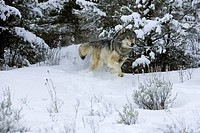 Captive gray wolf Canis lupus in winter, Montana.