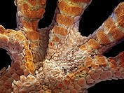 Gecko foot. Coloured scanning electron micrograph SEM of a gecko´s family Gekkonidae foot. The pads orange on the foot are covered in hairs, or setae,...