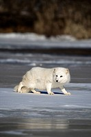 Arctic fox Alopex lagopus walking on the snow and ice.