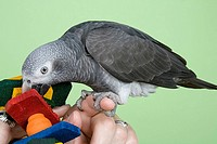 Timneh African grey parrot Psittacus erithacus timneh.