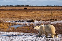 Polar Bear, Ursus maritimus, near Camp Nanuq, Hudson Bay, Churchill, Manitoba, Canada.