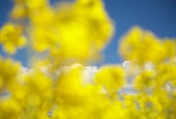 Close up of Rapeseeds