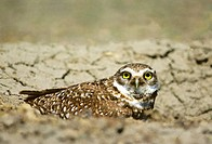 Adult burrwing owl Athene cunicularia peering from burrow entrance