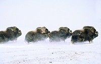 Adult bull muskoxen Ovibos moschatus fleeing. Banks Island, Northwest Territories, Arctic Canada.