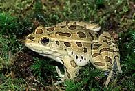 Adult northern leopard frog Rana pipens, Alberta, Canada.