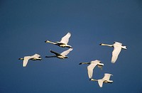 Trumpeter swans Cygnus buccinator, central Alberta, Canada