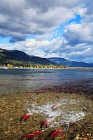 Sockeye salmon rush upstream into the mouth of the Adams River from Shuswap Lake, near Salmon Arm, British Columbia, Canada. The Adams River sockeye r...