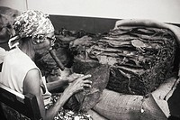 Cuba, Havana, Cuban woman smokes a cigar while rolling tobacco leaves to make cigars.