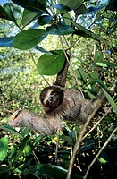 Mother three_toed sloth Bradypus variegatus with a baby clinging to her chest, coastal mangroves, Panama, Central America