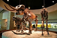 American mastodon display at The Page Museum, located at the site of the La Brea Tar Pits in Los Angeles, California.