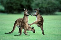 Juvenile western gray kangaroos Macropus fuliginosus, kick_boxing in practise fighting, Kangaroo Island, Australia