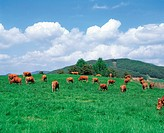 Cows Grazing In Field,Jeonbuk,Korea