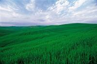 Barley Field,Tuscany,Italy