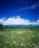 spring, flower, Tokachi mitumata, Higashi Taisetsu, East of Taisetsu, Kamishihoro, Hokkaido, Japan