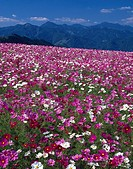 Highland Cosmos field Amagase Oita Japan