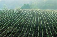 Furrows,Korea