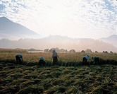 Rice Harveting,Rice Field,Jeonnam,Korea
